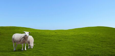 Sheep grazing on a meadow. Group, landscape. 写真素材