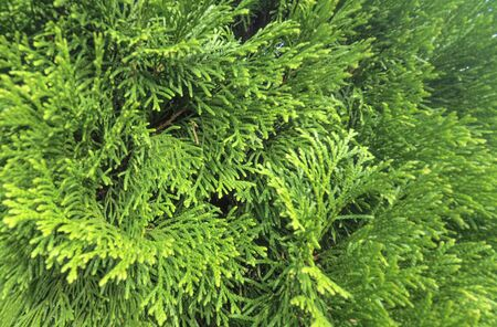 Texture of branches and leaves of a green plant of wild arborvitae.
