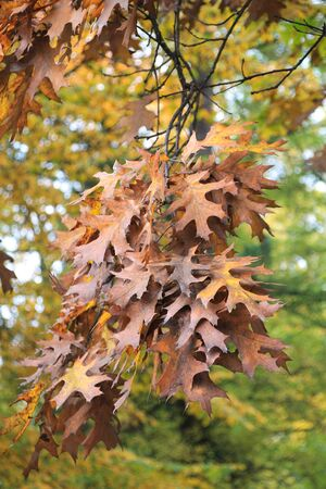 Autumn oak leaves hanging on a branch in a park. 写真素材