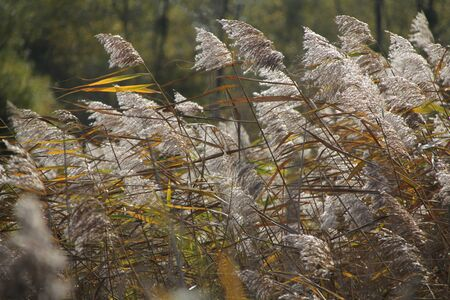 Flowering of southern common reed on a lake pond 写真素材