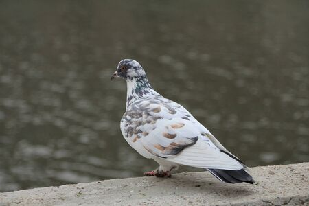 White domestic pigeon on the street, near a reservoir.