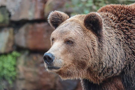 Portrait of an animal of the brown Siberian bear.