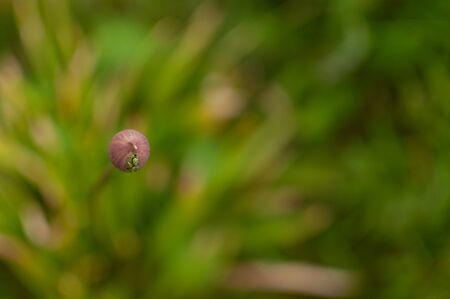 Blooming ornamental onion bud on the blurred floral background with copy space. Allium aflatunense. 版權商用圖片