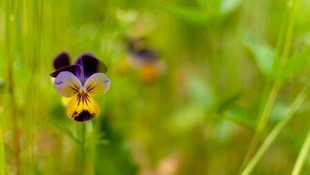 Blooming yellow-violet Pansy flower on blurred grassy background. Viola. 版權商用圖片