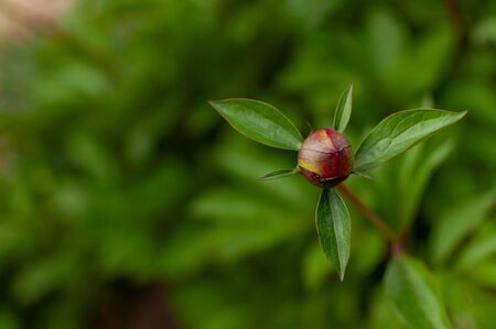 Young pink Tree Peony bud on blurred floral background with copy space. Paeonia suffruticosa.