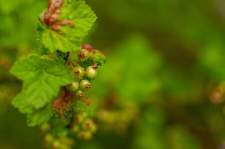 Ripening Red Currant fruits o a floral background. Ribes rubrum.