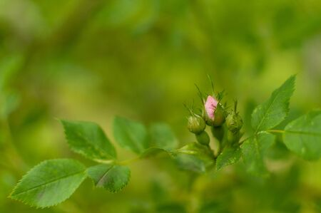 Three fresh Rugosa Rose buds against greenery blurred background with copy space. Rosa rugosa.