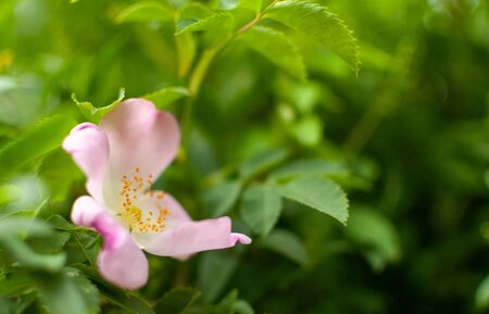 Blooming pink Rugosa Rose flower on green leafy background with space for text. Rosa rugosa.