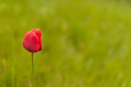 Red blooming Triumph Tulip flower on a blurred spring background with copy space. Tulipa Triumph. 版權商用圖片