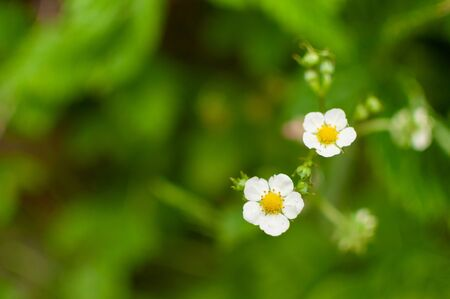 Blooming Woodland strawberry flowers on a blurred greenery background. Fragaria vesca.