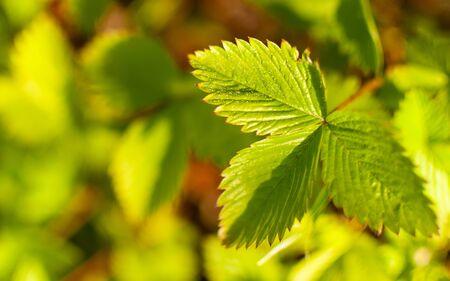 Woodland strawberry leaf on a green blurred background. Fragaria vesca. 版權商用圖片