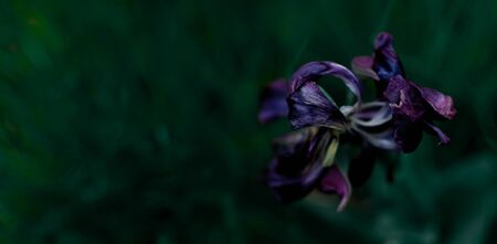 Overblown violet tulip flower on an evening green blurred background. View from above.