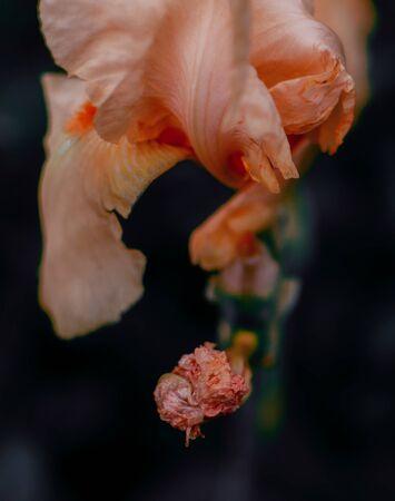 Pink Iris on night blurred background. Iris barbata.