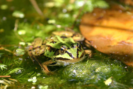 frog in a natural pond Stock Photo - 6148027