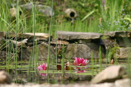 water szene with lotus