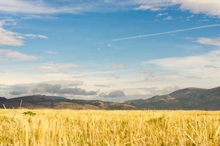 Wheat field landscape Stock Photo