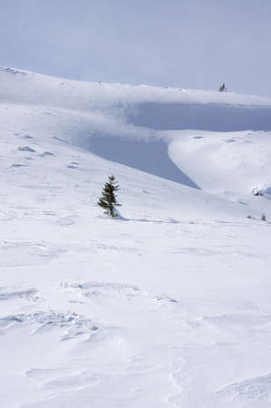 Spruce tree in deep snow photo