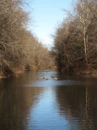 canadian geese: Canadian Geese on River Stock Photo