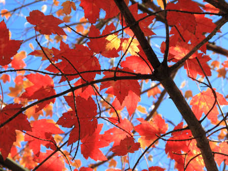 autumn colour: Autumn Skyscape - Fall trees, leaves, and colors with a blue sky background.