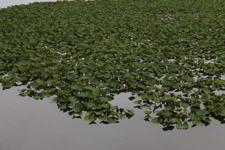 green vegetation: Lake Plants - A swampy pond with green vegetation