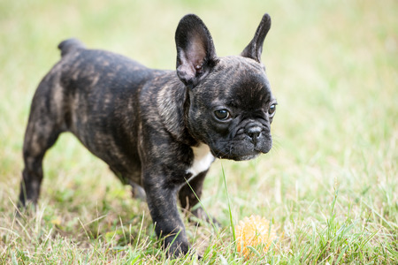 french bulldog puppy: French bulldog puppy playing with ball on the grass