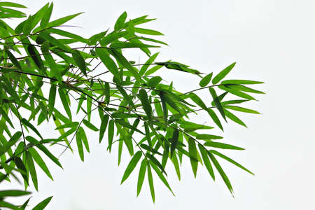 green bamboo: Bamboo leaves