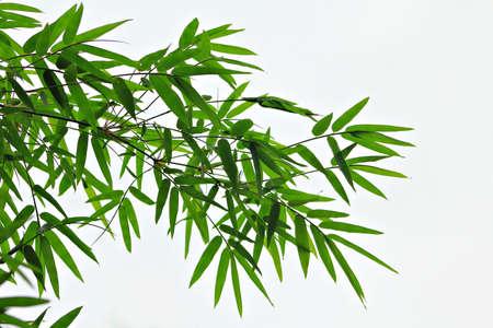 feuille de bambou: Les feuilles de bambou Banque d'images