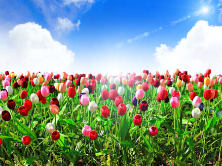 beautiful red tulips close up: colorful field of tulips and blue sky Stock Photo