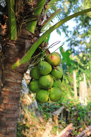 green coconut and tree Stock Photo - 13530953