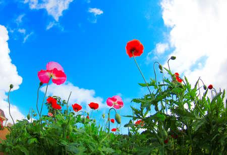 breeze: Poppy flower field and blue sky