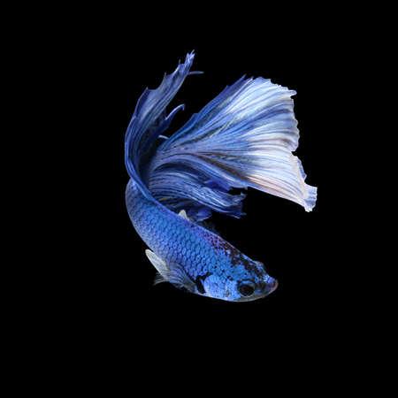 waft: Halfmoon betta fish,fighting fish