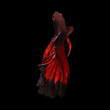 waft: Black Fire halfmoon betta fish.clipping path