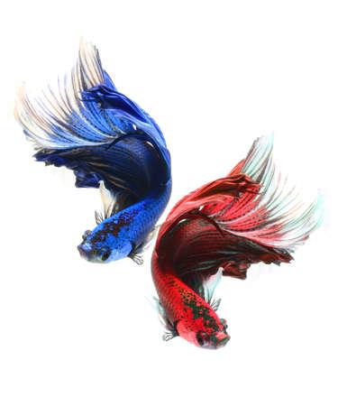 siamese fighting fish: Halfmoon betta fish,Siamese fighting fish Stock Photo