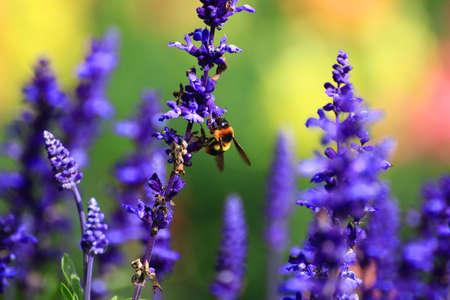 bee on flower: Honey bee on flower.