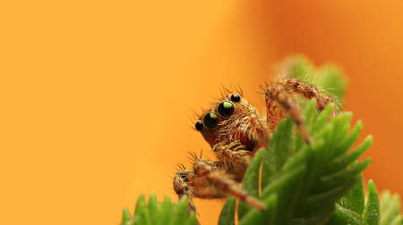 small details: Jumping spider on yellow background. Stock Photo