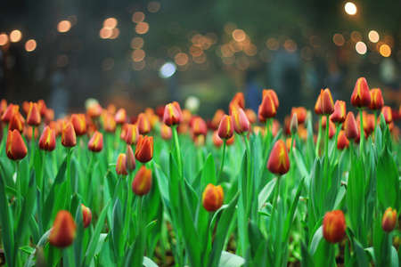 decoration: Beautiful tulip in the garden.