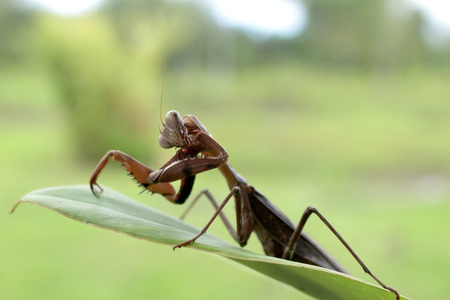 Grasshopper (Mantis sp.) at Asmat, Papua, Indonesia Stock Photo - 98302789