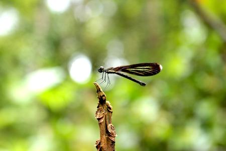 Damselfly Asmat, Papua, Indonesia
