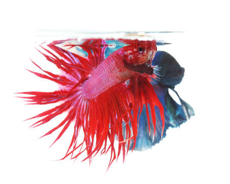 half moon tail: Two betta fishes, siamese fighting fish isolated on white background  Crown tail(Focus) and half moon