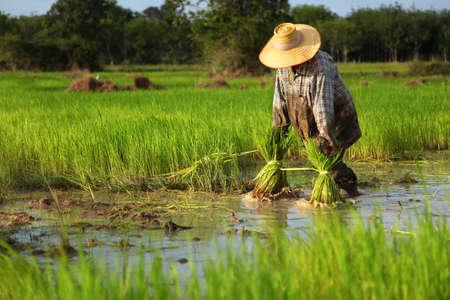 Thai farmer planting on the paddy rice farmland, South of Thailand
