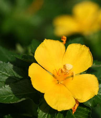 flower crab spider: Yellow Crab spider on yellow flower.