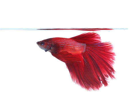 Siamese fighting fish isolated on white background, Half Moon photo