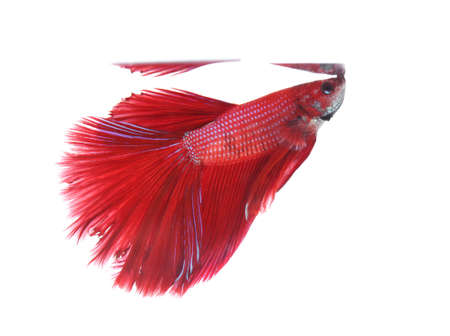 half moon tail: Siamese fighting fish isolated on white background, Half Moon Side View