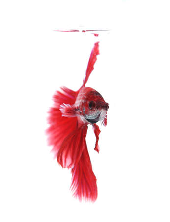 half moon tail: Siamese fighting fish isolated on white background, Half Moon Front View