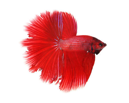 half moon tail: Siamese fighting fish isolated on white background, Half Moon Side View Stock Photo