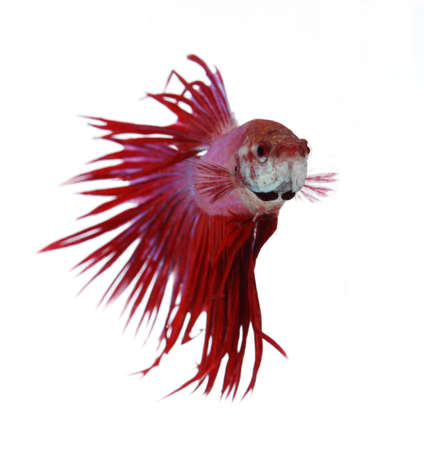 Siamese fighting fish isolated on white background, Crown Tail Front View photo