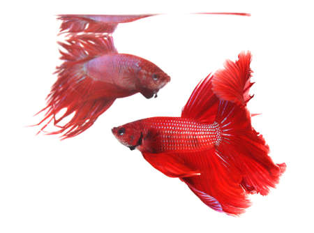 half moon tail: Two betta fishes, siamese fighting fish isolated on white background  Half moon(Focus) and crown tail