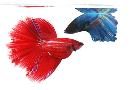 half moon tail: Two betta fishes, siamese fighting fish isolated on white background  Crown tail