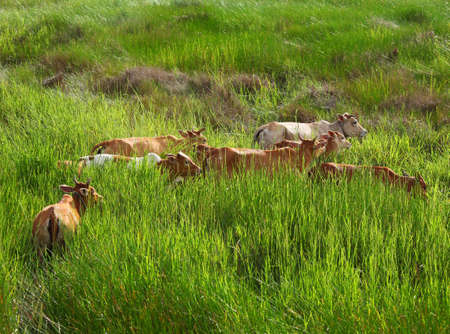 Tropical field with asian bloodline cow  photo