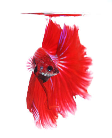 half moon tail: Siamese fighting fish isolated on white background, Half Moon